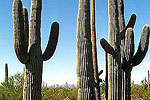 Family of Saguaro