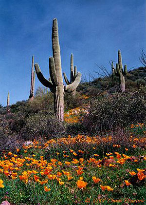Saguaro and poppies near Superior